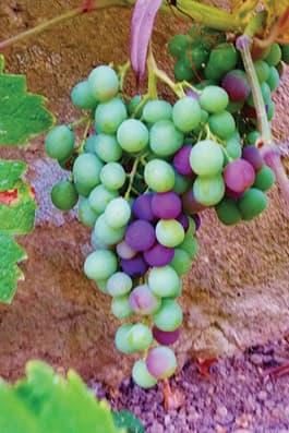 Vignobles de Chablis